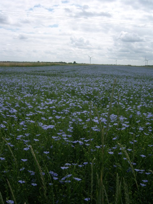 Flax field at Floods Ferry