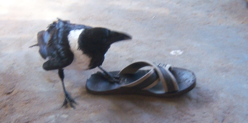 Crow trying on shoes