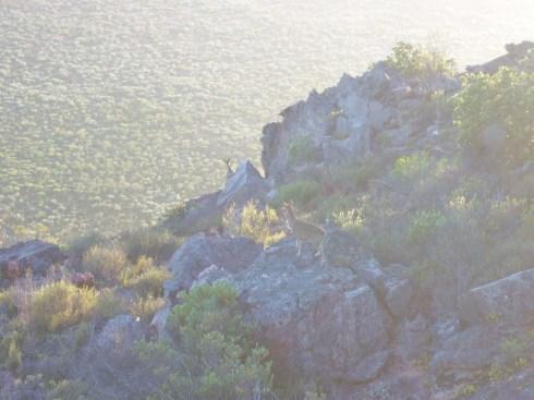 Klipspringer at dawn