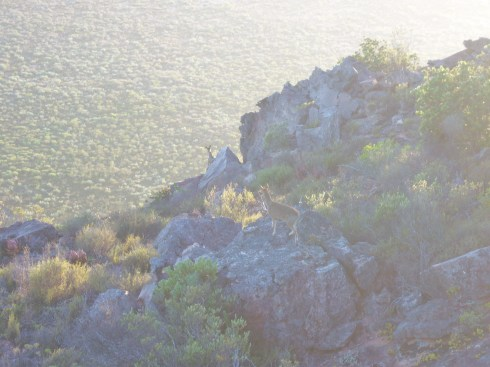 Klipspringer at dawn