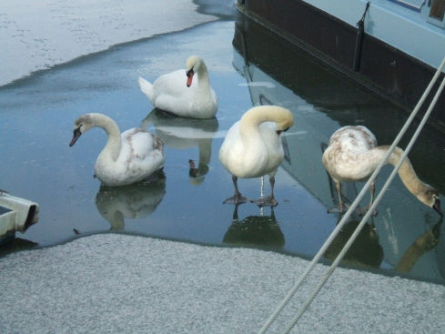 Swans and their cygnets walking on water