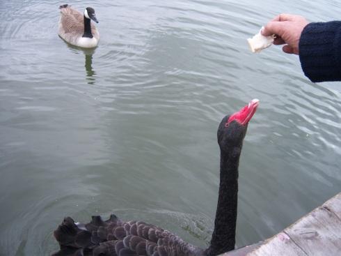 Ely-black swan